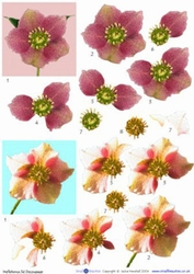A4 Knipvel Small Beauties DD24 Helleborus